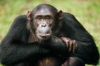 Tajni život šimpanze Santino: i životinje imaju ličnost…