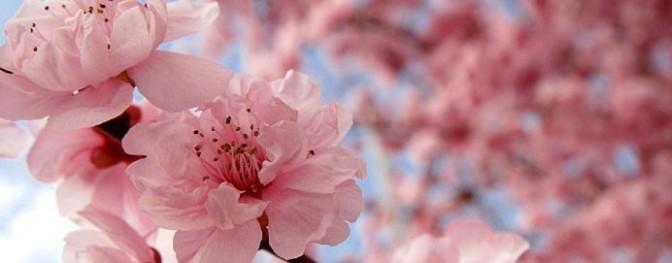 cherry_blossom_ (1)
